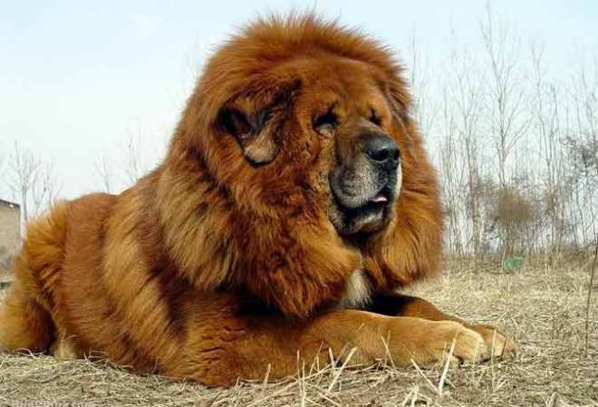 tibetan mastiff bread dog